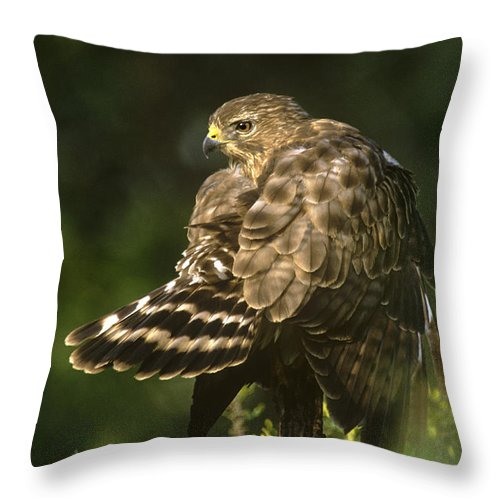 Red-shouldered Hawk Throw Pillow featuring the photograph Red-shouldered Hawk Wild Texas by Dave Welling