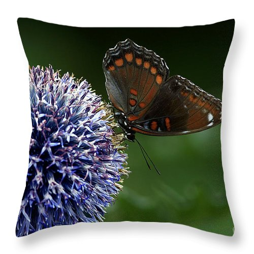 Red Spotted Purple Butterfly Gathering Nectar Throw Pillow featuring the photograph Red Spotted Purple Butterfly Gathering Nectar by Inspired Nature Photography Fine Art Photography