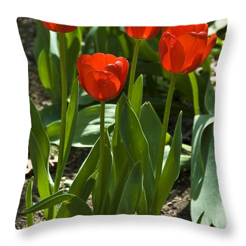 Flower Throw Pillow featuring the photograph Red Tulips by Anthony Sacco