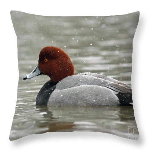 Canadian Throw Pillow featuring the photograph Redhead Duck In A Winter Snow Storm by Inspired Nature Photography Fine Art Photography