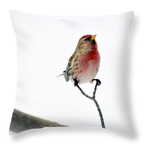 Bird Throw Pillow featuring the photograph Redpoll Splits by Jaunine Roberts