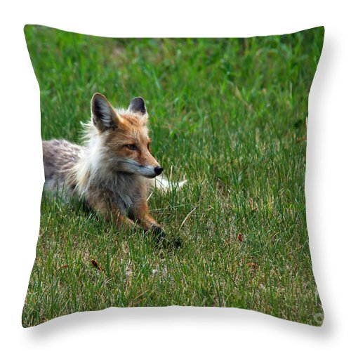 Vulpes Vulpes Throw Pillow featuring the photograph Relaxing Red Fox by Robert Bales