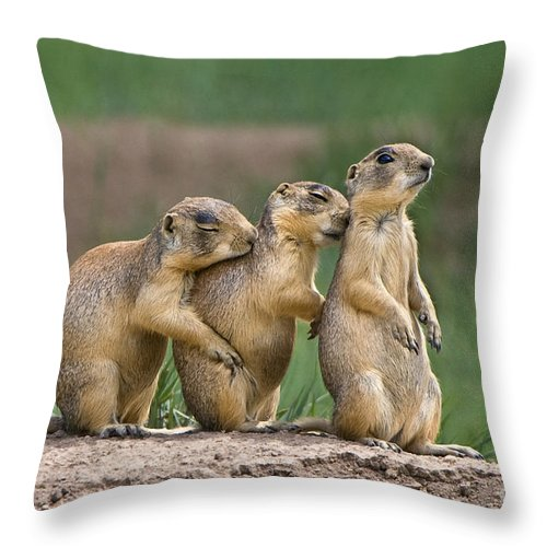 Utah Prairie Dogs Throw Pillow featuring the photograph Relaxing Utah Prairie Dogs Cynomys Parvidens Wild Utah by Dave Welling