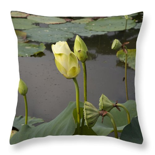 Lotus Throw Pillow featuring the photograph Renawal by Amanda Barcon