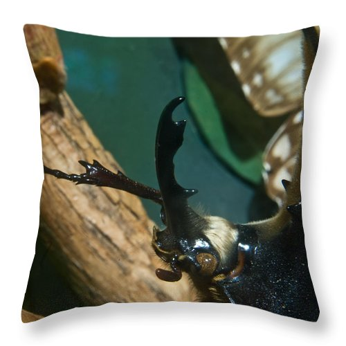 Rhinoceros Throw Pillow featuring the photograph Rhinoseros Beetle Up Close And Personal by Douglas Barnett