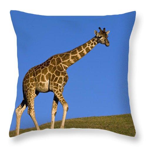 Mp Throw Pillow featuring the photograph Rothschild Giraffe by Zssd