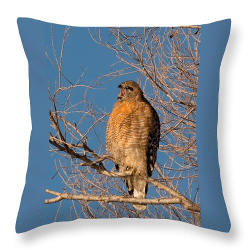 Red-shouldered Hawk Throw Pillow featuring the photograph Screeching Red-shouldered Hawk by Kathleen Bishop