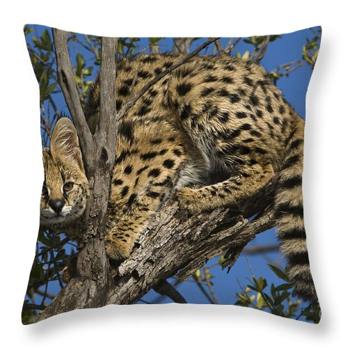 African Fauna Throw Pillow featuring the photograph Serval by John Shaw