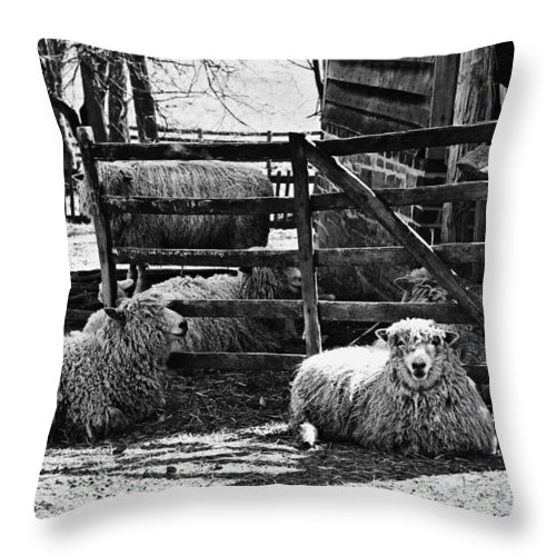 Sheep Throw Pillow featuring the photograph Sheep by Nicole Lambert