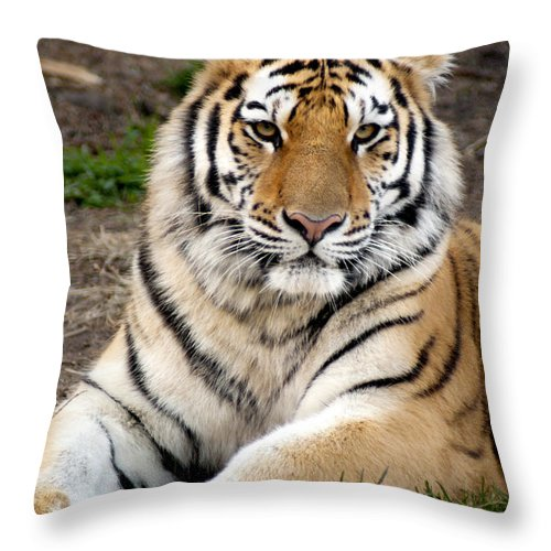 Siberian Tiger Throw Pillow featuring the photograph Siberian Tiger by Anthony Totah