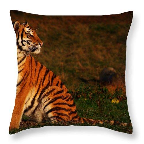 siberian tiger looking backwards throw pillow for salenick biemans