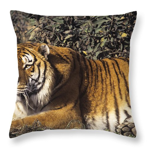 Siberian Tiger Throw Pillow featuring the photograph Siberian Tiger Stalking Endangered Species Wildlife Rescue by Dave Welling