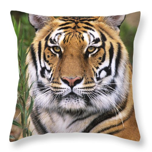 Siberian Tiger Throw Pillow featuring the photograph Siberian Tiger Staring Endangered Species Wildlife Rescue by Dave Welling