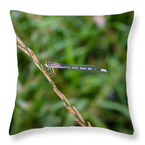 Blue Dragonfly Throw Pillow featuring the photograph Small Blue Dragonfly by Pati Photography