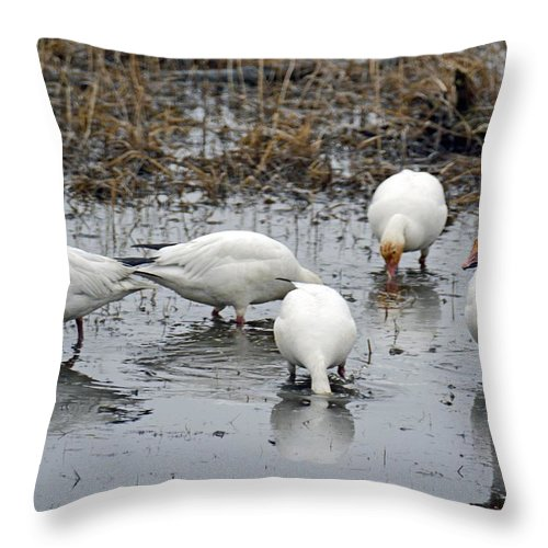 Snow Geese Throw Pillow featuring the photograph Snow Geese Muddy Waters by Debra Miller