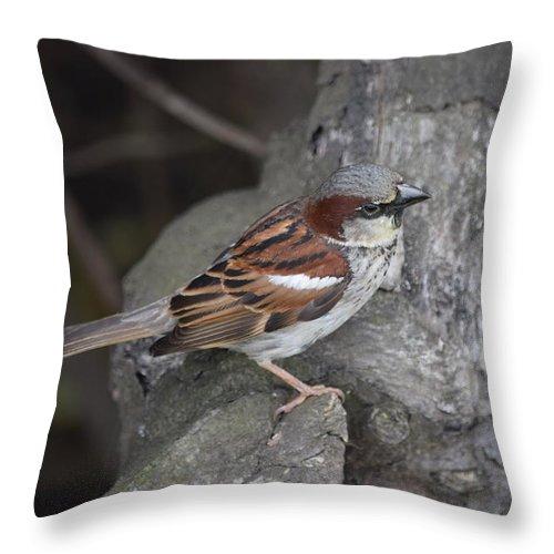 Sparrow Throw Pillow featuring the photograph Sparrow by Eric Johansen