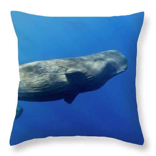 Underwater Throw Pillow featuring the photograph Sperm Whale Pyseter Macrocephalus by Stephen Frink