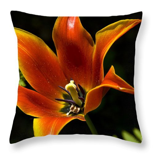 Flower Throw Pillow featuring the photograph Spring Tulip by Anthony Sacco