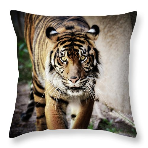 Sumatran Tiger Throw Pillow featuring the photograph Sumatran Tiger by Saija Lehtonen