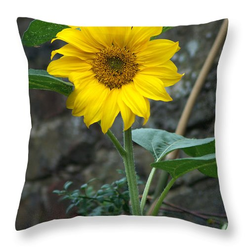 Sunflower Throw Pillow featuring the photograph Sunflower by Chris Day