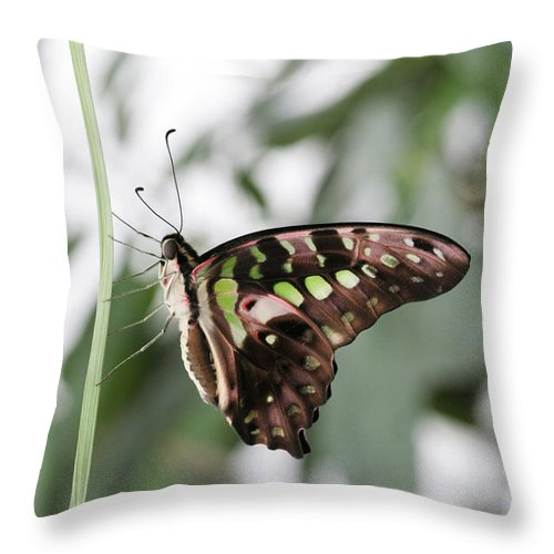 Butterfly Throw Pillow featuring the photograph Tailed Jay Butterfly by Judy Whitton