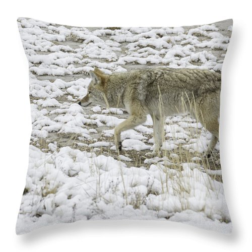 Coyote Throw Pillow featuring the photograph The Coyote by Carolyn Fox