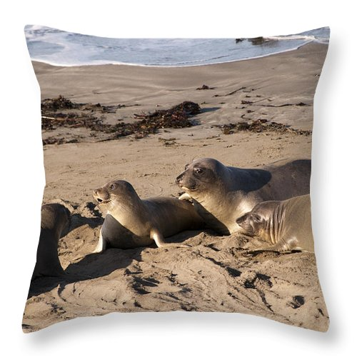 Seals Throw Pillow featuring the photograph the Local Gossip by Brenda Kean