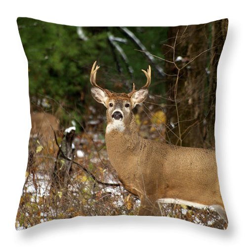 Whitetail Deer Throw Pillow featuring the photograph The Rutting Whitetail Buck by Thomas Young