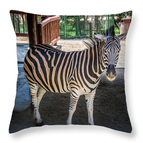 Animal Throw Pillow featuring the photograph The Zebra by Andrew Matwijec