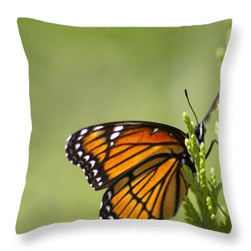Danaus Plexippus Throw Pillow featuring the photograph Those Magnificent Monarchs - Danaus Plexippus by Kathy Clark