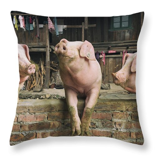 Pig Throw Pillow featuring the photograph Three Pigs Having A Chat In A Remote by Mediaproduction