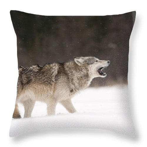 Canis Lupus Throw Pillow featuring the photograph Timber Wolf by John Shaw