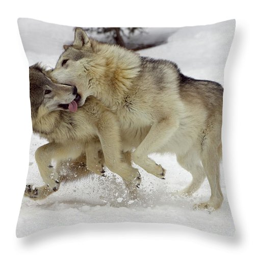 Mp Throw Pillow featuring the photograph Timber Wolf Pair Montana by Matthias Breiter