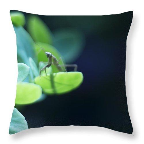 Praying Mantis Throw Pillow featuring the photograph Tiny Praying Mantis On Sedum by Rebecca Sherman