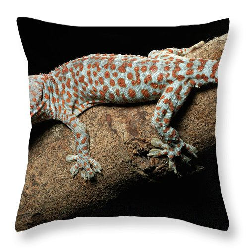 Mp Throw Pillow featuring the photograph Tokay Gecko In Defensive Display by Chien Lee
