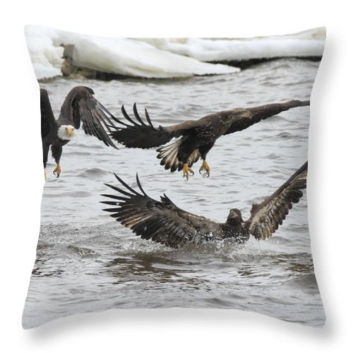 American Bald Eagle Throw Pillow featuring the photograph Two Against One by Coby Cooper