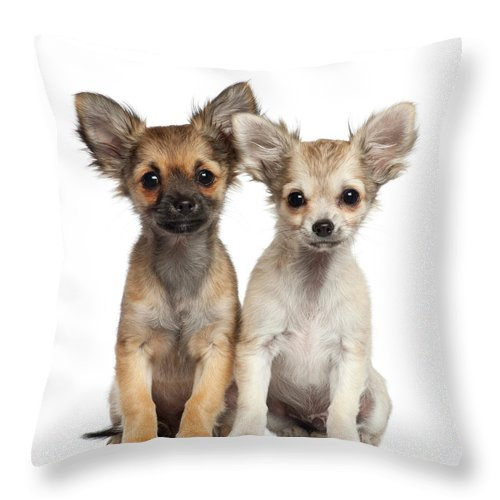 Pets Throw Pillow featuring the photograph Two Chihuahua Puppies Sitting 3 Months by Life On White