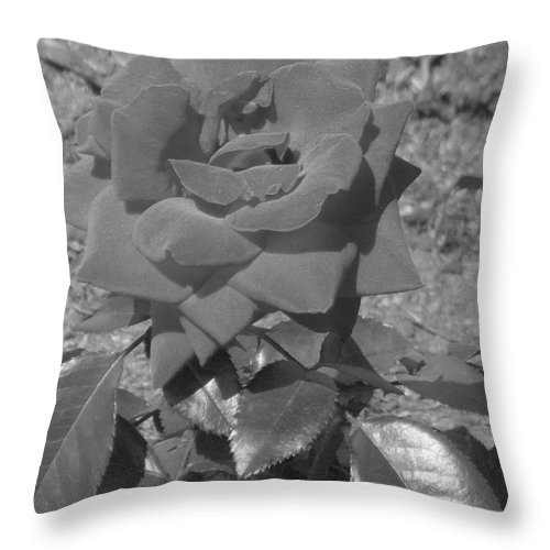Rose Throw Pillow featuring the photograph Velvet Rose by Pharris Art