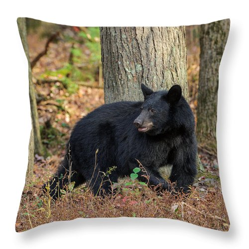 Cades Cove Throw Pillow featuring the photograph Wary Black Bear by Charlie Choc