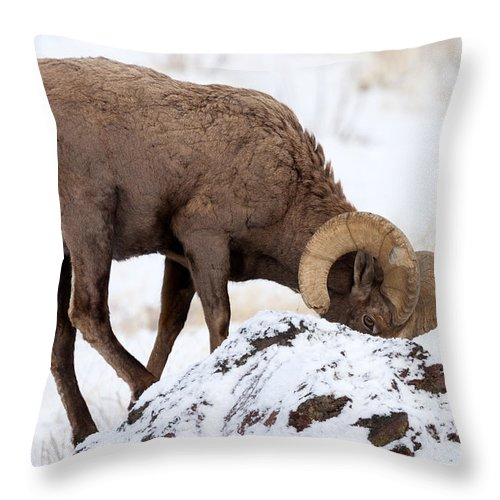 Bighorn Throw Pillow featuring the photograph Watchful Eye by Mike Dawson