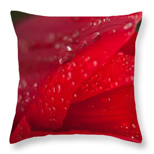 Red Tulip Photography Throw Pillow featuring the photograph Water Drops On Tulip by Sabine Edrissi