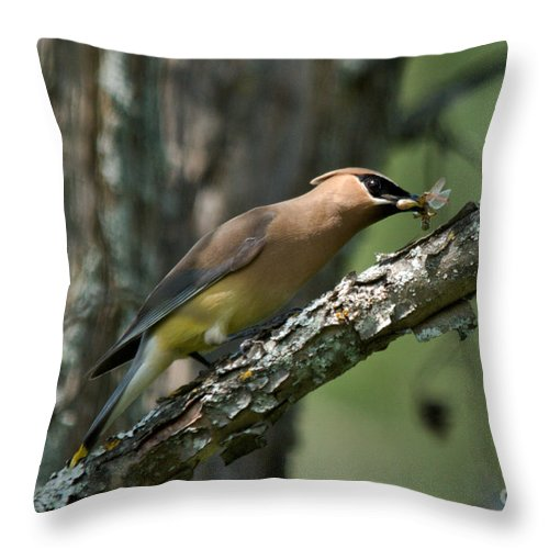 Cedar Waxwing Throw Pillow featuring the photograph Waxwing Lunchtime by Cheryl Baxter