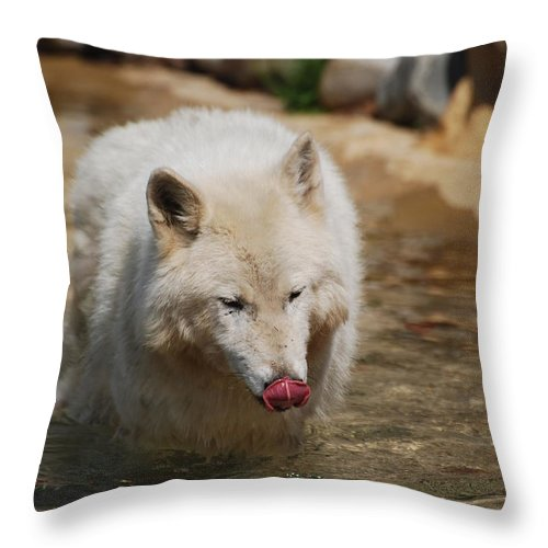 Wolf Throw Pillow featuring the photograph White Wolf Licking His Chops by DejaVu Designs