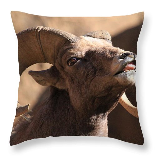 Bighorn Sheep Throw Pillow featuring the photograph Who Farted by Paul Marto