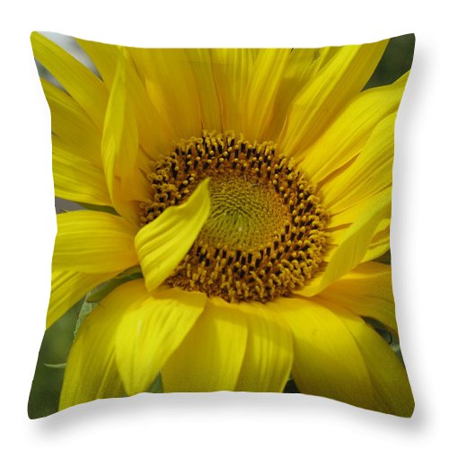 Sunflower Throw Pillow featuring the photograph Windblown Sunflower Three by Barbara McDevitt