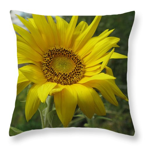 Sunflower Throw Pillow featuring the photograph Windblown Sunflower Two by Barbara McDevitt