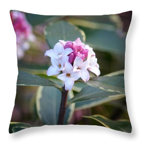 Winter Daphne Throw Pillow featuring the photograph Winter Daphne by Maria Urso