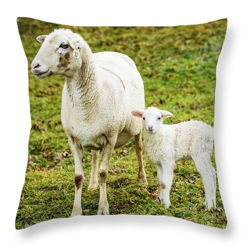 Lamb Throw Pillow featuring the photograph Winter Lamb And Ewe by Thomas R Fletcher