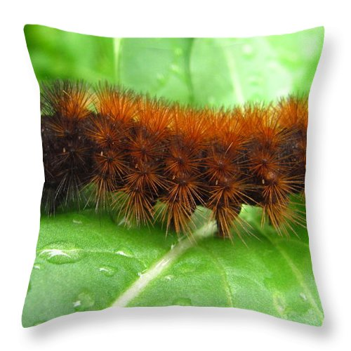 Wooly Bears Wooly Bear Caterpillar Images Fuzzy Caterpillar Prints Isabella Tiger Moth Caterpillar Orange And Black Caterpillar Black And Brown Caterpillar Maryland Caterpillar Identification Caterpillar Id American Caterpillars Spiny Caterpillar Harmless Caterpillars Entomology Natural Science Nature Prints Naturalist Nature Study Nature Walk Nature Photography Tree Hugger Oldgrowth Forest Biodiversity Preservation Wildlife Conservation Organic Garden Organic Farming Banded Wooly Bear Pics Throw Pillow featuring the photograph Wooly Bear by Joshua Bales