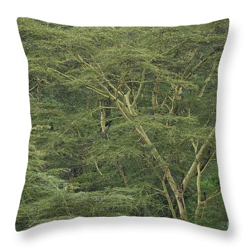 Acacia Xanthophloea Throw Pillow featuring the photograph Yellow-barked Acacia Trees by John Shaw